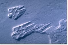wolf tracks, I do love wolves Aldo Leopold, Do Love, Live Long, Wolves, Science, Eye, Wolf, Timber Wolf