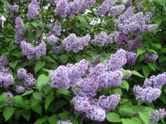 In addition to common lilacs (Syringa vulgaris), I grow the dwarf Korean lilac (Syringa meyeri 'Paliban'). Unlike the big flower heads of the common lilac, dwarf Korean is literally covered with small, dense clusters of pinkish-purple flowers in late spring that fill the air with a wonderful, spicy scent. Growing about 4-6 feet tall and twice as wide,