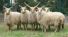 Racka Sheep, treasured in Hungary, are notable for their long, curly coats and their corkscrew shaped horns (both males and females) which protrude upwards from the head and grow up to 2' long. via wikipedia. #Sheep #Racka_Sheep #wikipedia