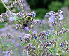 https://thegardendiaries.wordpress.com/2016/06/12/bee-catnip-pollinator-superstar/