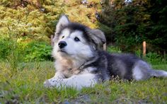 My little Huskimute (Alusky or Siberian Husky/Alaskan Malamute Mix) at 3 months old, Nykoe is his name <333