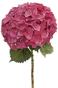 Magenta Hydrangea Flower is a bright hot ball shaped flower formed by clusters of many smaller flowers! Representing friendship, devotion, and understanding, th Water Flowers, Small Flowers, Beautiful Flowers, Pink Flowers, Diy Wedding Flowers, Wedding Bouquets, Ecuadorian Roses, Wholesale Florist, Outdoor Birthday