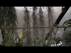 Air Plant Care: Must Know Spanish Moss Care and Culture Tips for Tillandsia usneoides – Indoor Plants Store Bonsai Garden, Garden Plants, Indoor Plants, House Plants, Greenhouse Gardening, Container Gardening, Moss Plant, Air Plants Care, House Plant Care