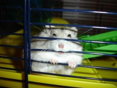 """Let My Hammy Go! — Cute Overload Winthorpe Shows Off his Eclectic Taste. Winthorpe Shows Off his Eclectic Taste. Winthorpe Shows Off his Eclectic Taste. Winthorpe Shows Off his Eclectic Taste. Winthorpe Shows Off his Eclectic Taste. K Schenk:"" Russian Dwarf Hamster, Your Pet, Cute Animals, Pets, Dwarf Hamsters, Eclectic Taste, Creatures, Chinchillas, Winter White"