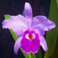 Cattleya gigas - The most beautiful Colombian-Jewel -  Flickr - Photo Sharing!