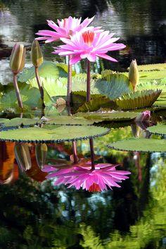 Two worlds Missouri botanical garden, St. Water Flowers, Water Plants, Water Lilies, Water Garden, Lotus Flowers, Garden Pond, Fruit Garden, Flowers Nature, Pink Flowers