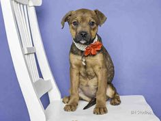 02/13/15-HOUSTON - NEW PHOTO - COME AND GET THIS BABY GIRL TODAY- TIME IS RUNNING OUT FOR HER - HANNAH - ID#A423987  My name is HANNAH. I am a female, brown and white Labrador Retriever.  The shelter staff think I am about 14 weeks old.  I have been at the shelter since Feb 02, 2015.