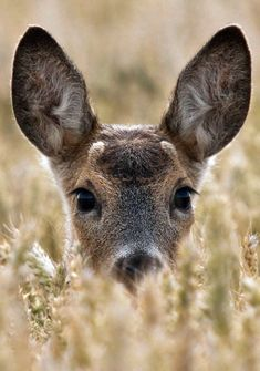 Roe deer in corn - Adam can 'talk' to the wildlife to get their attention Deer Photos, Deer Pictures, Animals And Pets, Baby Animals, Cute Animals, Wild Life, Beautiful Creatures, Animals Beautiful, Deer Photography