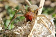 """Résultat de recherche d'images pour """"araignée dangereuse"""" Info, Voici, Images, Europe, Belgium, Puertas, Search"""