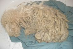 Neglected dog thrown away in a field. When Ellie was captured on August 25, she was so badly matted that one of her legs was literally adhered to her abdominal area. Inside of her matted fur were countless fleas and fox tails and hidden beneath the blanket of fur - raw, oozing sores.  Adding to Ellie's misery was a mouthful of rotted teeth, weeping, pus-filled eyes, infected ears and a terrible uterine infection known as Pyometra.