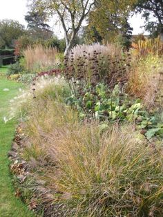 Grasses and Phlomis fruticosa at Hinton St. George, Somerset. One of my best gardens, with the nicest clients!