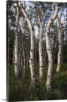 Balanced birch trees glow in harmony