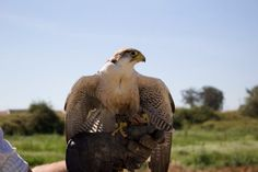 Falcoaria portuguesa classificada como Património Imaterial da UNESCO - PÚBLICO