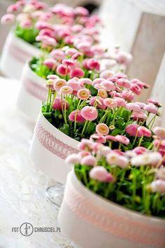 English Daisy Pots.