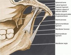 The temporomandibular joint (TMJ) is the site of articulation between the mandible and the skull, specifically the area about the articular. Head Anatomy, Human Body Anatomy, Human Anatomy And Physiology, Gross Anatomy, Dental Facts, Dental Humor, Myofacial Release, Dental Assistant Study, Orthognathic Surgery
