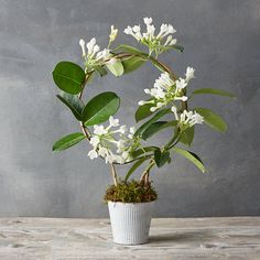 "Commonly known as ""Madagascar jasmine,"" Stephanotis floribunda is a twining, tropical vine with dark, shiny foliage and snow-white flowers. Each sweetly fragrant hoop topiary arrives ready for display in a textured metal pot.- A terrain exclusive- Stephanotis floribunda plant, moss, soil, metal pot- Indoor use only- Place in bright, indirect sunlight at room temperature (65-80F)- Water when first 0.5"" of soil becomes arid by top watering or soaking in a filled saucer for 20-30 minutes…"