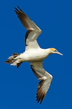Australasian Gannet The Gannet bird, Gannets are are large black and white seabirds with yellow heads; long, pointed wings; and long bills & are closely related to boobies. Northern gannets are the largest seabirds in the North Atlantic,the 2 other species live around southern Africa, southern Australia and New Zealand. Gannets hunt fish by diving from a height into the sea and pursuing their prey underwater -they have no external nostrils, instead they are located inside the mouth.