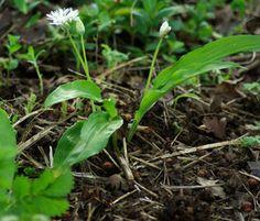 Garlic, Bear's (Alium ursinum), packet of 50 seeds, organic