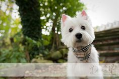 west highland white terrier looking into the camera for portraits