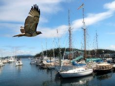 Hawk Flying over Boats by Kate Hubbard by KateHubbardPhotos on Etsy