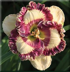 Pete Harry Daylilies... Daylilies Of Distinction  Happy Happy