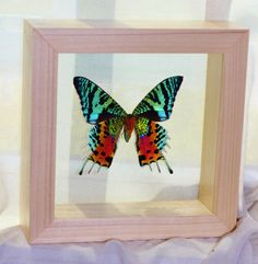 sunset moth in double glass frame real sunset moth by athenianaire 3999