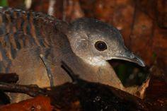 Bartlett's Tinamou Crypturellus bartletti - Google Search