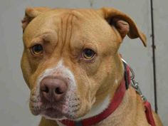SAFE 9-15-2015 by  Amsterdog Animal Rescue --- Brooklyn Center BOBBY – A1050103  MALE, TAN / WHITE, AM PIT BULL TER / LABRADOR RETR, 2 yrs, 9 mos OWNER SUR – EVALUATE, NO HOLD Reason LLORDPRIVA Intake condition EXAM REQ Intake Date 09/02/2015