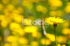 A close-up of a Dandelion flower with a field of them out of focus in. Dandelion Flower, Out Of Focus, Closer To Nature, Flower Photos, Image Now, Close Up, Royalty Free Stock Photos, Vibrant, Yellow