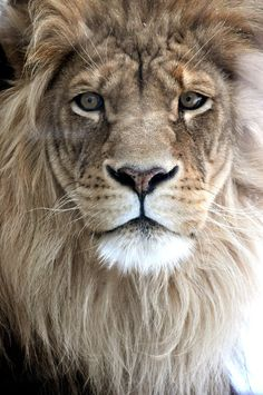 Strength and beauty - I want to get a tattoo of a lion someday because my mother was a leo