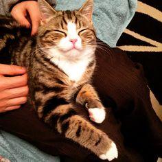 #cat#kitten#kitty#catstagram#catsofinstagram#kittiesofinstagram#猫#ねこ#ネコ#子猫#靴下猫#マンチカン#スコティッシュフォールド#ブラウンタビー#雑種#タビー#おねむ