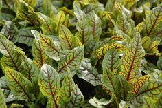 """Rumex sanguineus ssp. sanguineus """"Red Veined Dock"""""""