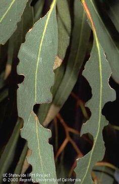 Eucalyptus Tortoise Beetles: Blue gum leaves chewed by eucalyptus tortoise beetles (eucalyptus leaf beetles), Trachymela sloanei. Leaf Beetle, Eucalyptus Leaves, Garden Pests, Beetles, Southern California, Tortoise, Plant Leaves, Plants, Blue