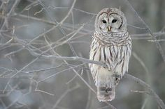 Owl enjoying winter!!
