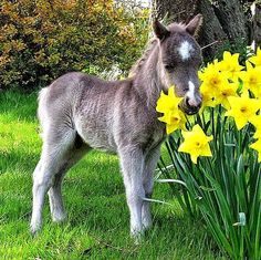 Mini horse foal and daffodils. I'm volunteering at a mini horse farm. Can't wait for the babies to be born! Cute Horses, Pretty Horses, Horse Love, Beautiful Horses, Animals Beautiful, Mini Horses, Gray Horse, Majestic Animals, Beautiful Gorgeous