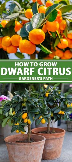 How to Grow Dwarf Citrus Trees Small Fruit Trees, Potted Fruit Trees, Fruit Trees In Containers, Dwarf Fruit Trees, Growing Fruit Trees, Citrus Trees, Fruit Plants, Growing Tree, Growing Plants