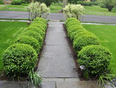 boxwoods in a row, slate walkway