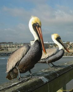 types of pelicans with images | ... all galleries >> Just a Peek into My World > Florida's Brown Pelicans