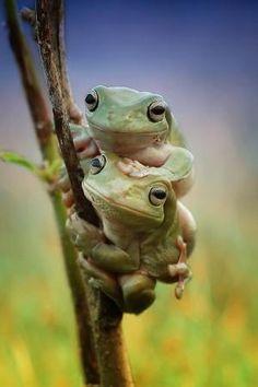 Twin dumpy frog by Yusri Harisandi on 500px* by alison