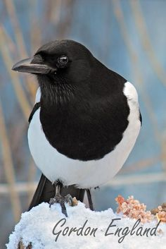 Eurasian Magpie (Pica pica): throughout Europe, much of Asia and northwest Africa