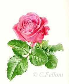 Rose à bouquet, Claire Felloni