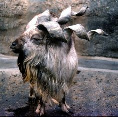 Markhor are Pakistan's national animal yet even with laws put into place to protect it, its numbers are still declining.