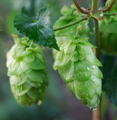 Hops. for homebrewing