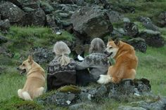 Photos of Icelandic Sheepdogs in Iceland