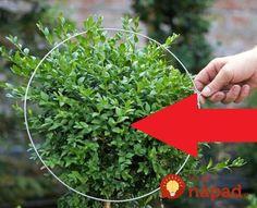 Naučte sa triky ako strihať ozdobné stromčeky a tvarovať zeleň, vaša záhrada bude vyzerať miliónovo aj v zime!