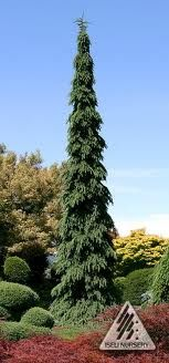 Weeping White Spruce - garage wall  (tall and very thin).  Actually a blue color.