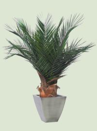 gummibaum clean pflege gummibaum zimmerpflanzen und blumen pflanzen. Black Bedroom Furniture Sets. Home Design Ideas