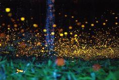 Long exposure photos of fireflies