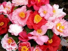 Camellia sasanqua: small leaves, blooms in late fall - end of the year. Camellia japonica: larger leaves, flowers in late winter & early spring. loves partial shade - make great borders - can be prune into small trees. Many species with blooms in colors of white, pink or red..