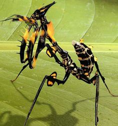 Devil flower mantis